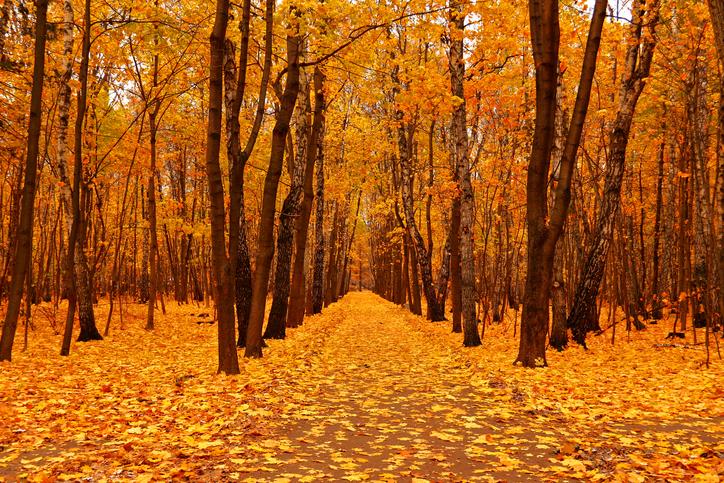 Autumn forest in deep autumn. Golden fall. Horizontal orientation. Landscape mode