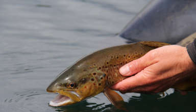 Flyfishing, catching and releasing a brown trout